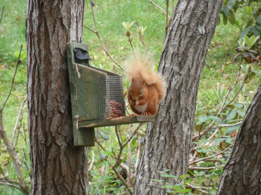 One of the red squirrels which can be spotted on the Balmoral Estate.