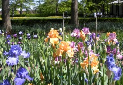 Colorful Iris Garden Display