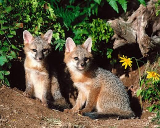 http://bp2.blogger.com/_shNfb4kWu0g/RoHzk1b0W6I/AAAAAAAAAKo/0ERAjC-M17w/s320/Grey+fox+kits.jpg