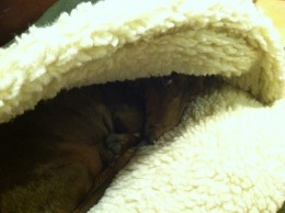 Dachshunds love to burrow, and Sebastian loves his cave bed.