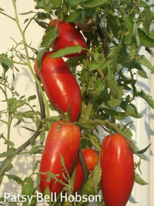 """Roma"" type sauce tomatoes for your favorite Italian dishes."