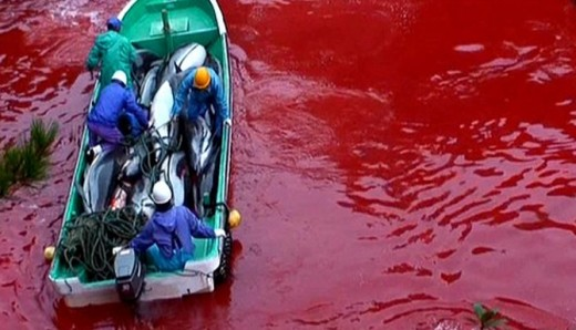 Brutal dolphin hunting in Japan