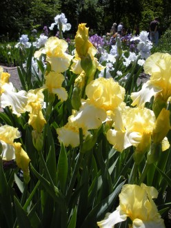 "More ""rhizomes"" in bloom.  I love these bearded Iris, and took this photo also last year."