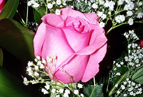 Pink Rose, photo by Rosie2010 - Photography as a Hobby