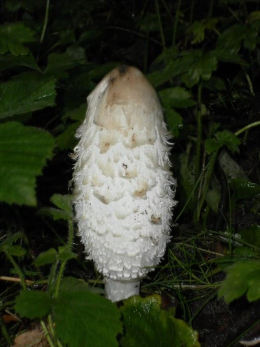 Shaggy Ink Cap - recently emerged, shaggy phase.