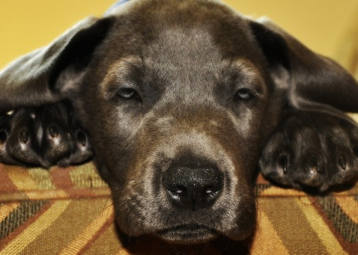 8 1/2 week old blue female great dane puppy, named Villa.