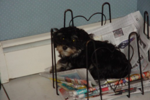 Havanese puppy - Pepe Pepe  liked to lay in our newspaper recycle bin