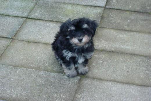 New Havanese puppy - Pepe