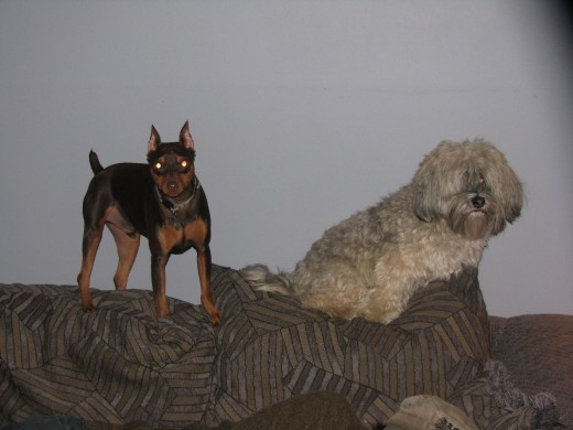 My Min Pin, Buzz, with Leo on the back of the couch