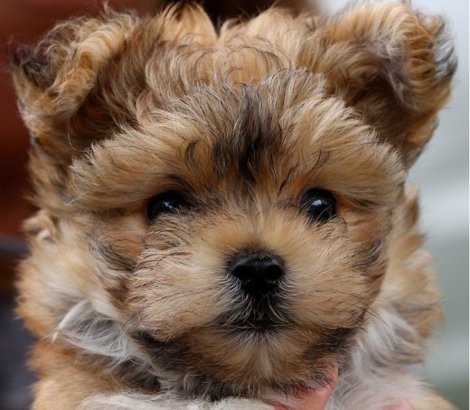 A Cute Morkie puppy named Buddy
