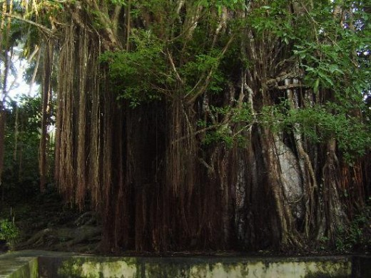 The balete tree or banyan tree (ficus indica)
