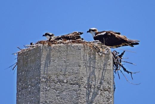 Fort De Soto Osprey