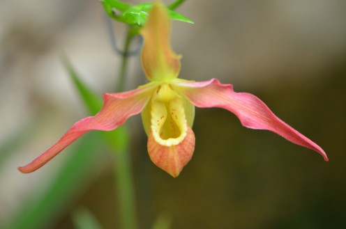 Pretty Pink and Yellow Colored Orchid