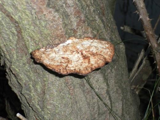 Alder Bracket Fungus