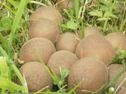 Earthball Fungus
