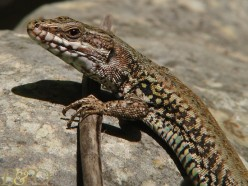 Lizards from Italy Living in the U.S.A.