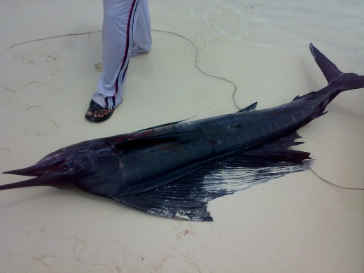 A typical swordfish