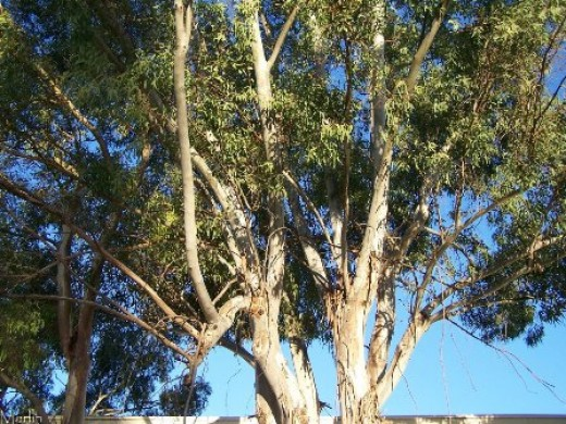 Eucalypts were brought from Australia and planted in swamp areas in Israel for drainage of soil.