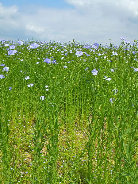 Flax plant in June