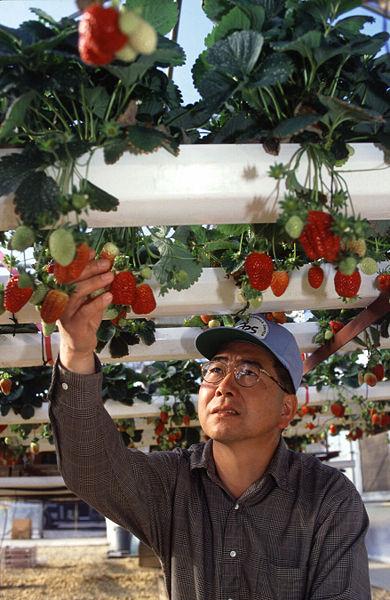 Hydroponic Strawberry
