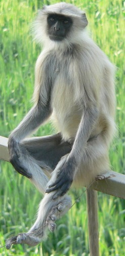 Gray Langur: Information and pictures of the Indian monkey and a cute baby monkey