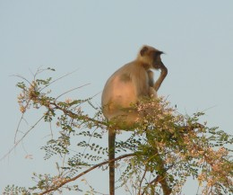 Gray Langur - Doing what he does best. These monkeys often tend to find the highest points on tree tops and much away on leaves while they watch on what every else is upto.