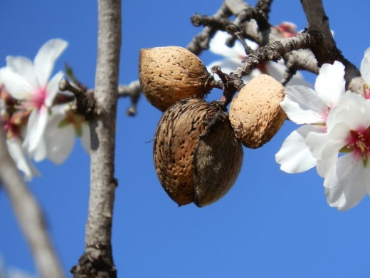 ripe almonds on tree