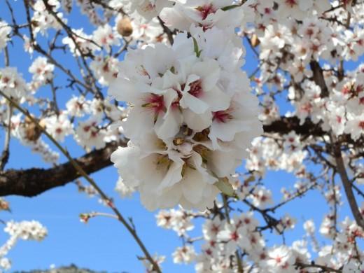 beautiful sweet almond blossom