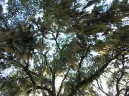 Upward view of spanish moss in trees in Savannah GA, taken July 2011.