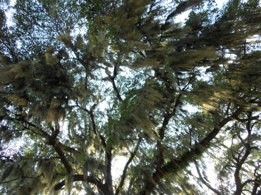 Upward view of spanish moss in trees in Savannah GA, taken July 2011.