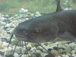 The Channel Catfish, And The Bait Used To Catch The American Fisherman's Favourite Dinner.