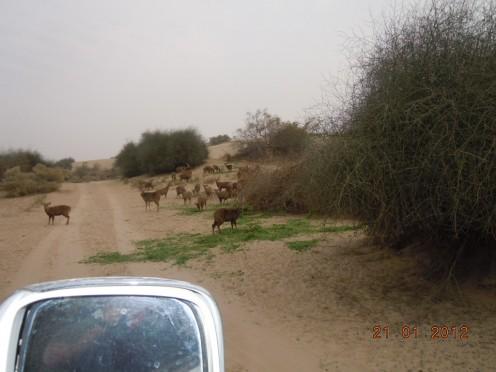 Taloor Houbara Bustard Bird Hunting Hobby Of Arabian