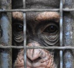 Saving the chimpanzees