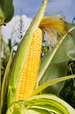 Many food additives that come from corn are genetically modified. Avoid corn derived food additives.