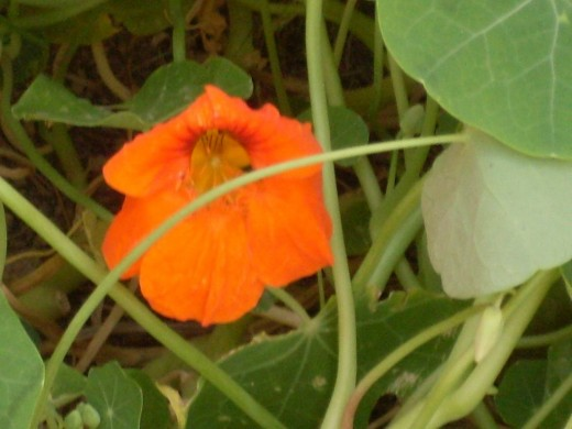 lovely orange nasturtium flower