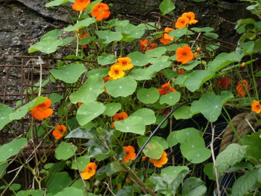 nasturtiums brighten up a dark corner