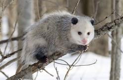 Kangaroos, Opossums and Kin - Part 4