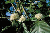Coffee Plant Blossoms