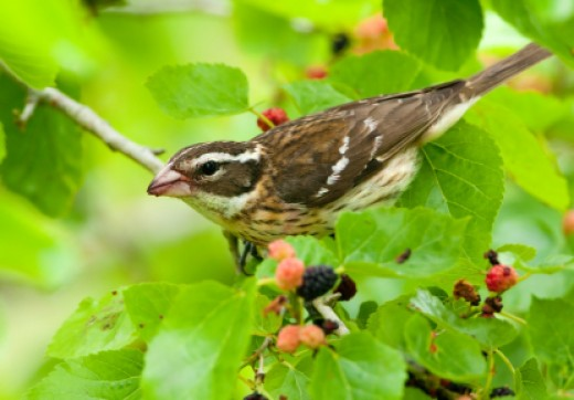 Rose Breasted Grosbeak in Mulberry Bush