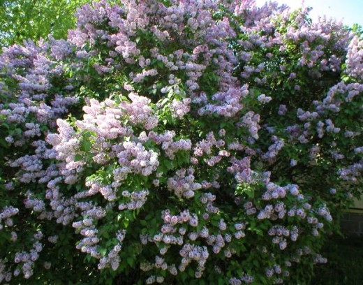 Lovely Lavender Lilacs