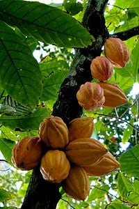 Cacao tree with fruits.