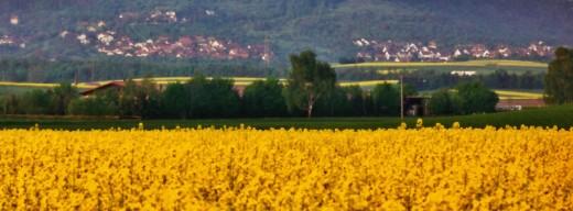 Fields of rape & horseback riding in Herrenberg - Gültstein area.