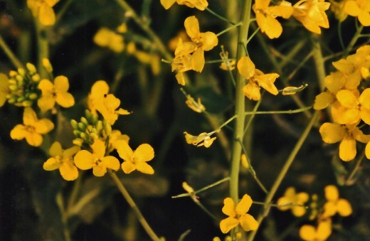 Flowers of the rape plant