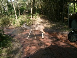 Look out, an okapi crosses the road