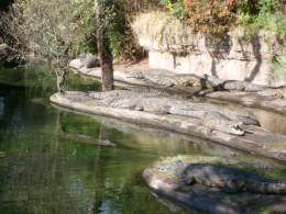 Crocodiles enjoying the warm sun