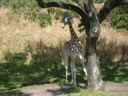 A young giraffe eating breakfast while somewhat hiding behind the trunk of the tree.