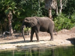 An African elephant goes to take  a drink