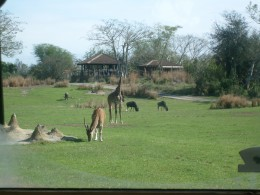 Various animals get used to each other and to the safari visitors.