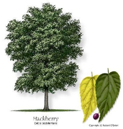 Host plant: Hackberry Tree