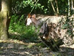 The shy okapi up close
